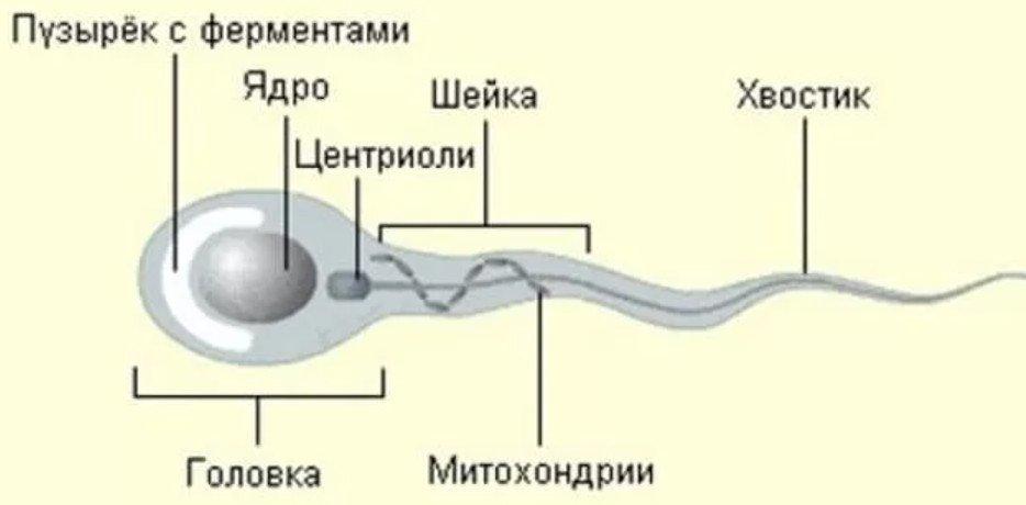 строения сперматозоида