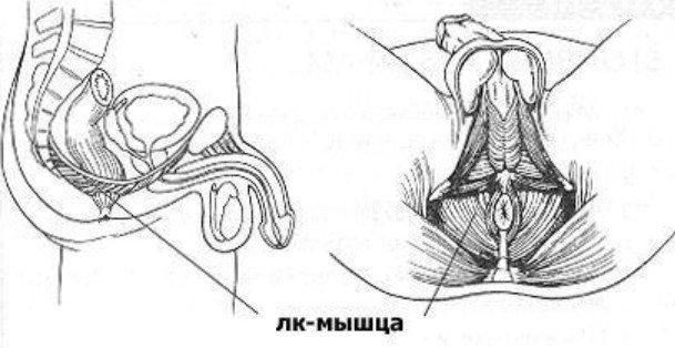 LK мышца